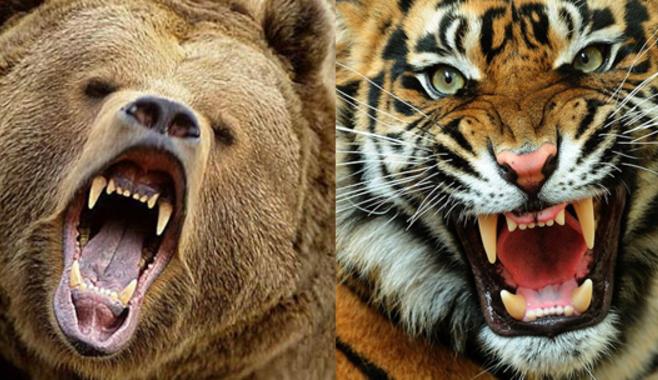 Особенности игрового аппарата Tiger vs Bear с необычным бонусным раундом